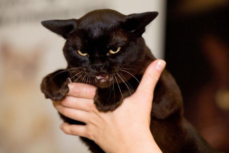Приметы на 23 августа – зачем в Лаврентьев день гладят черного кота