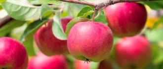 Как быстро похудеть на яблочной диете